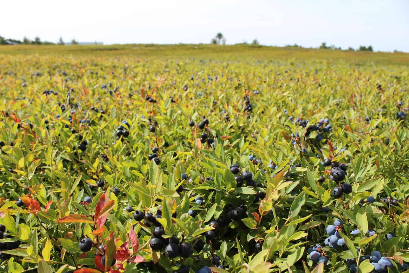 a field of wild blueberry plants