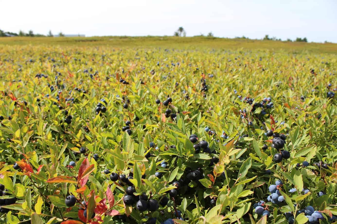 a field of wild blueberry plants