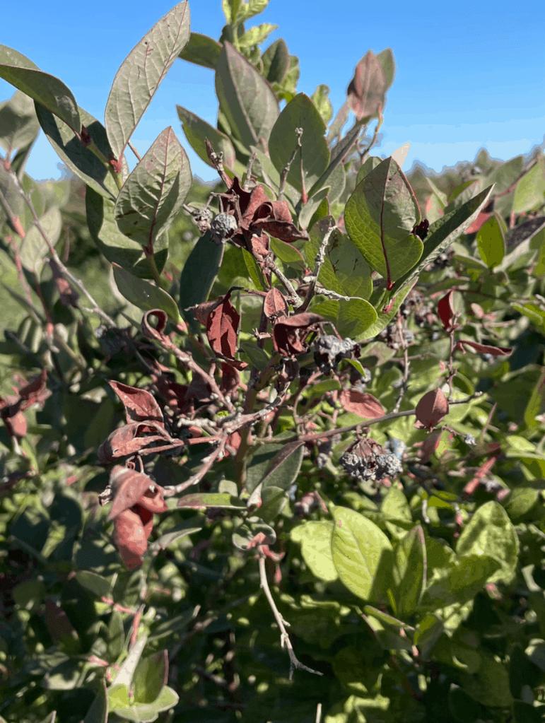 Shriveled blueberries on a blueberry bush.