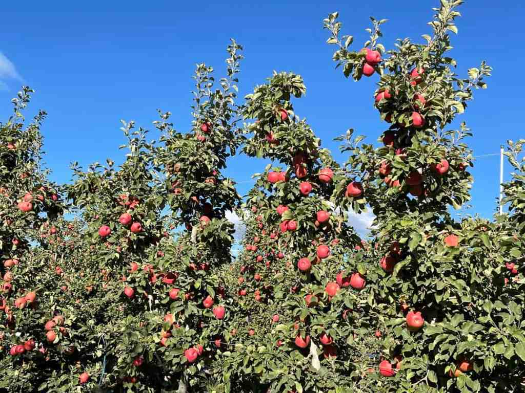 Apple trees with lots of fruit on them against a clear blue sky.
